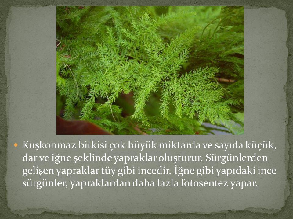 Kuşkonmaz bitkisi çok büyük miktarda ve sayıda küçük, dar ve iğne şeklinde yapraklar oluşturur.