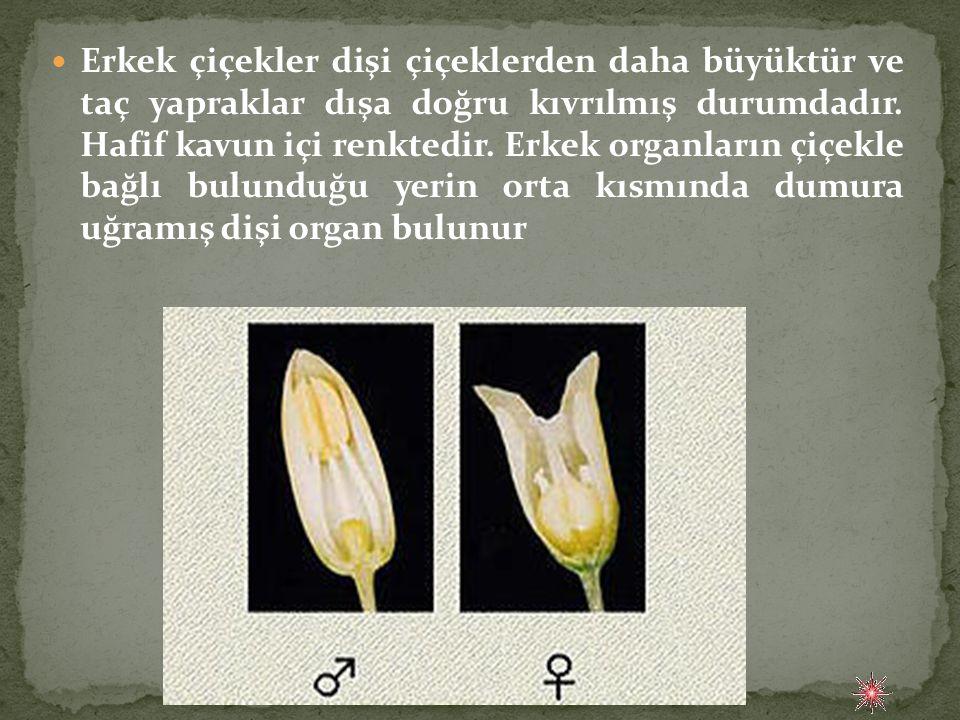 Erkek çiçekler dişi çiçeklerden daha büyüktür ve taç yapraklar dışa doğru kıvrılmış durumdadır.