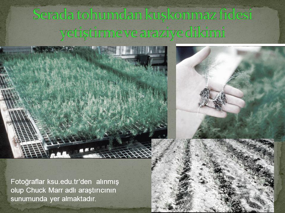 Serada tohumdan kuşkonmaz fidesi yetiştirme ve araziye dikimi