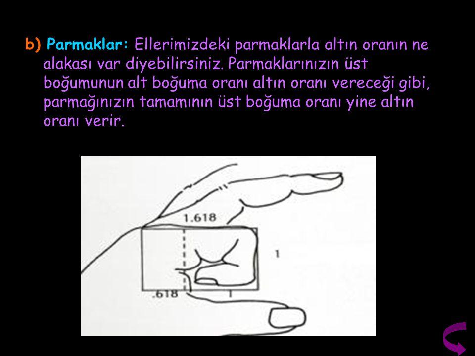 b) Parmaklar: Ellerimizdeki parmaklarla altın oranın ne alakası var diyebilirsiniz.