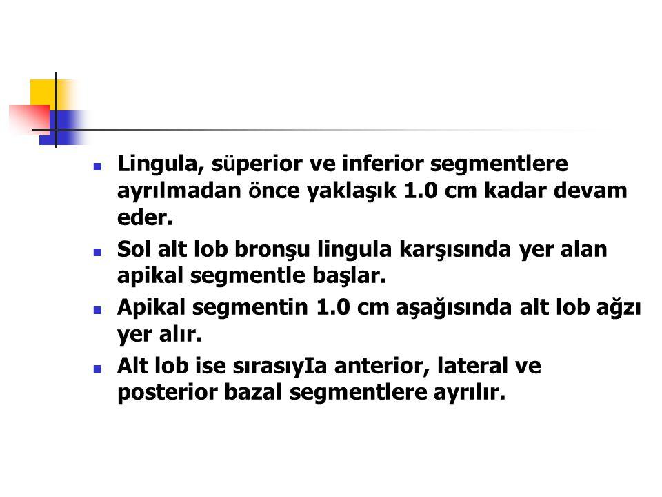 Lingula, süperior ve inferior segmentlere ayrılmadan önce yaklaşık 1