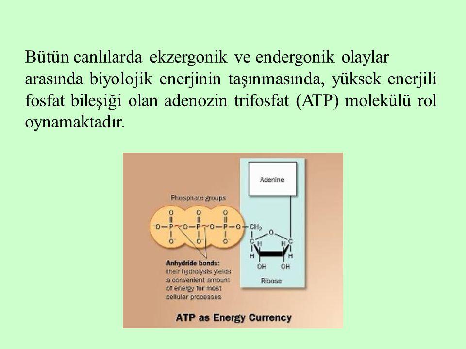 Bütün canlılarda ekzergonik ve endergonik olaylar arasında biyolojik enerjinin taşınmasında, yüksek enerjili fosfat bileşiği olan adenozin trifosfat (ATP) molekülü rol oynamaktadır.
