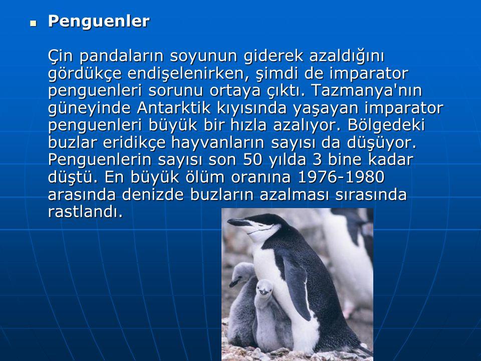 Penguenler Çin pandaların soyunun giderek azaldığını gördükçe endişelenirken, şimdi de imparator penguenleri sorunu ortaya çıktı.