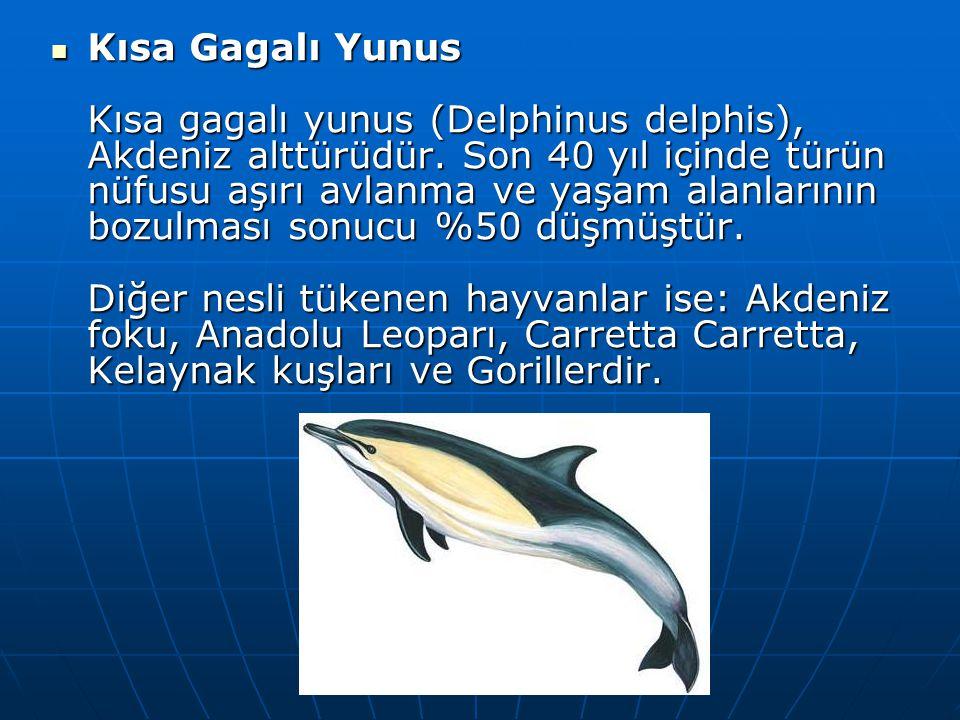 Kısa Gagalı Yunus Kısa gagalı yunus (Delphinus delphis), Akdeniz alttürüdür.
