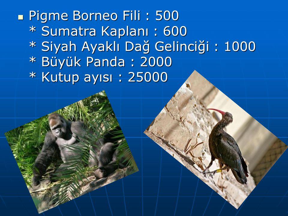 Pigme Borneo Fili : 500. Sumatra Kaplanı : 600
