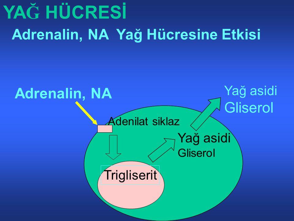 YAĞ HÜCRESİ Adrenalin, NA Yağ Hücresine Etkisi Adrenalin, NA Gliserol