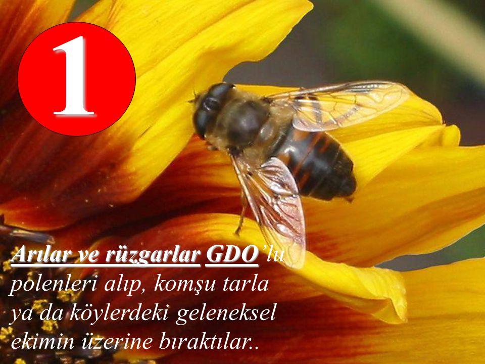 1 Arılar ve rüzgarlar GDO'lu polenleri alıp, komşu tarla ya da köylerdeki geleneksel ekimin üzerine bıraktılar..