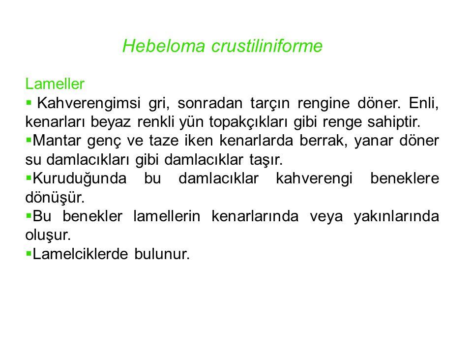 Hebeloma crustiliniforme