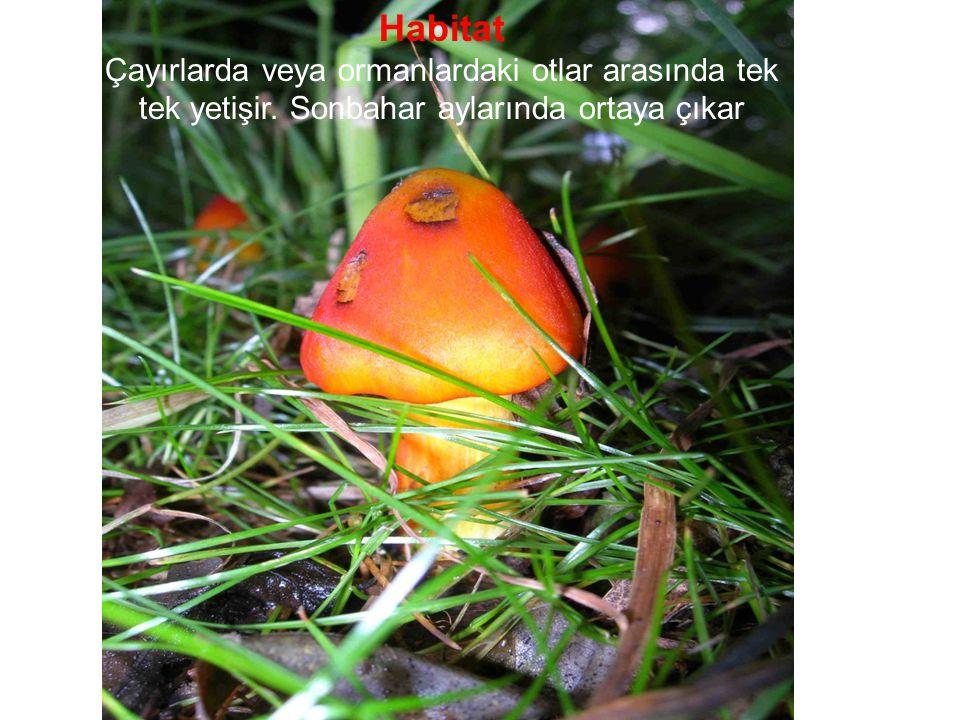 Habitat Çayırlarda veya ormanlardaki otlar arasında tek tek yetişir.