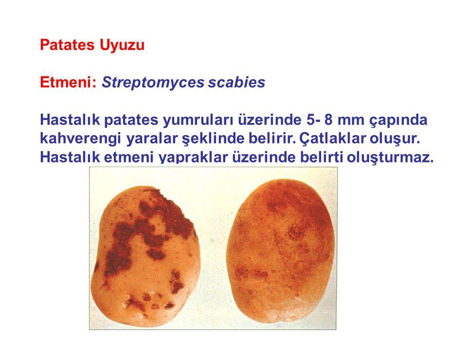 Patates Uyuzu Etmeni: Streptomyces scabies. Hastalık patates yumruları üzerinde 5- 8 mm çapında.