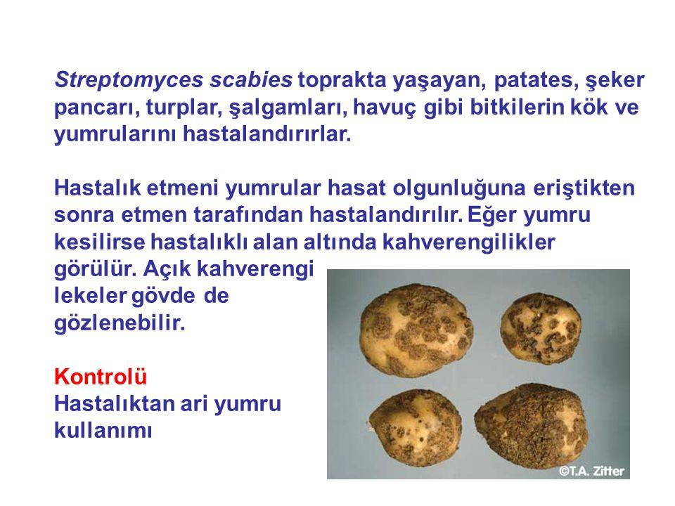 Streptomyces scabies toprakta yaşayan, patates, şeker