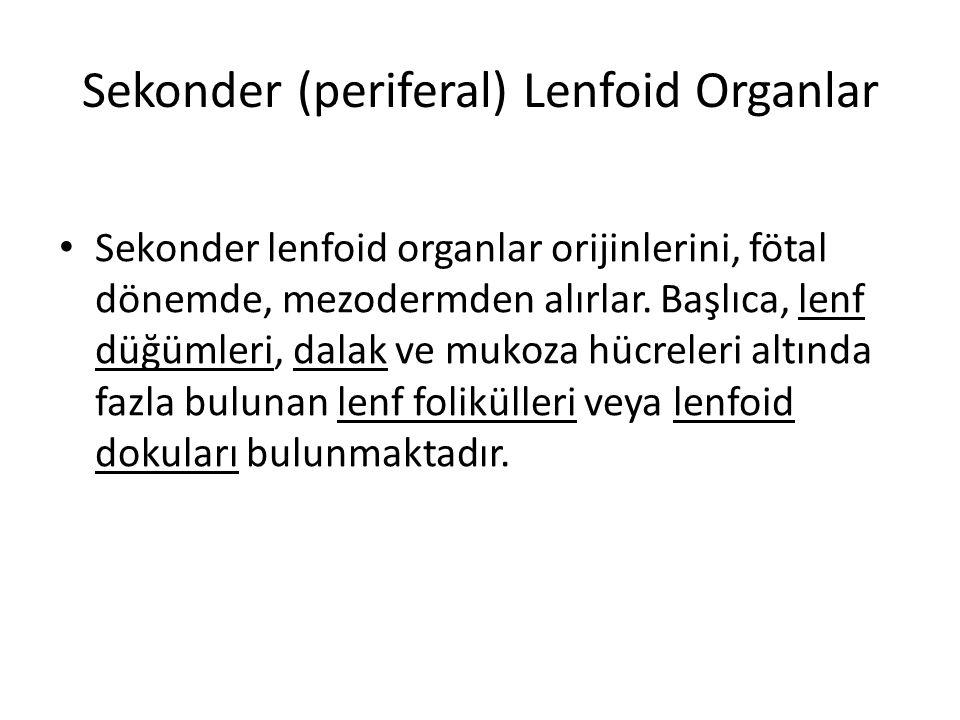 Sekonder (periferal) Lenfoid Organlar