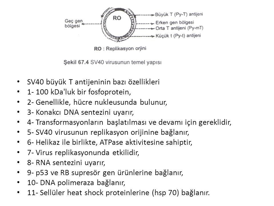SV40 büyük T antijeninin bazı özellikleri