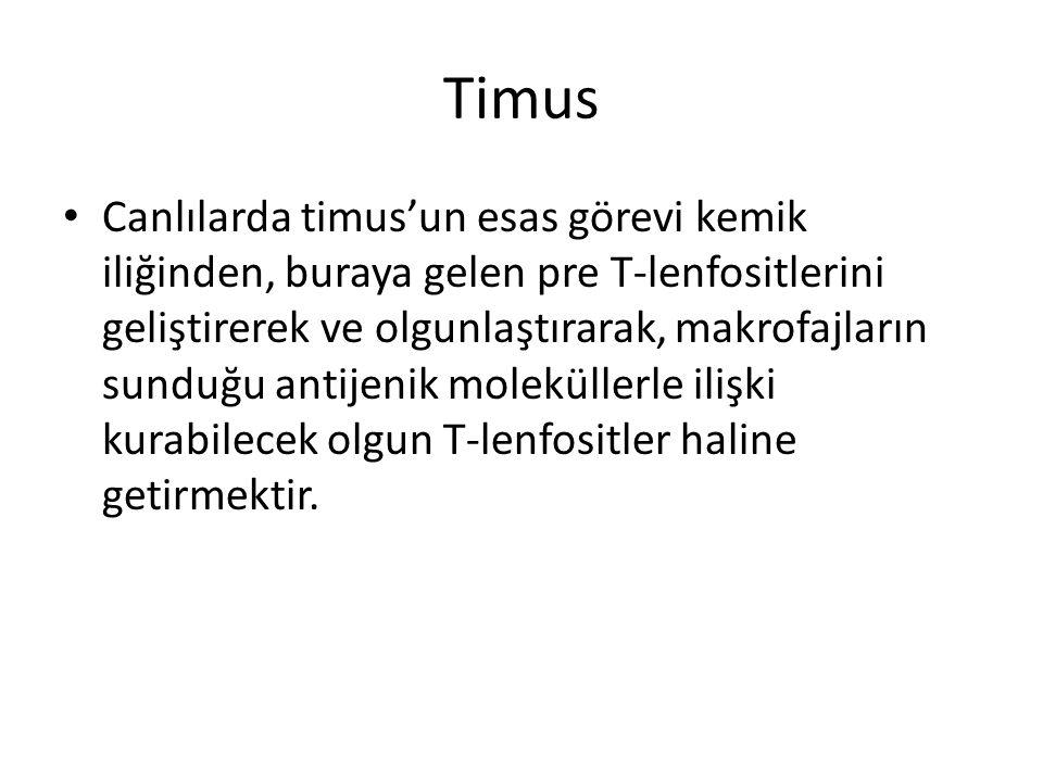 Timus