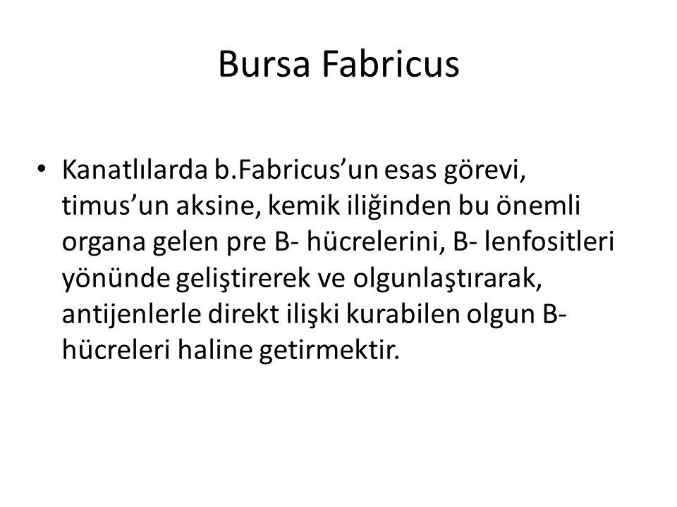 Bursa Fabricus