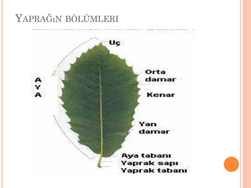 Yaprağın bölümleri