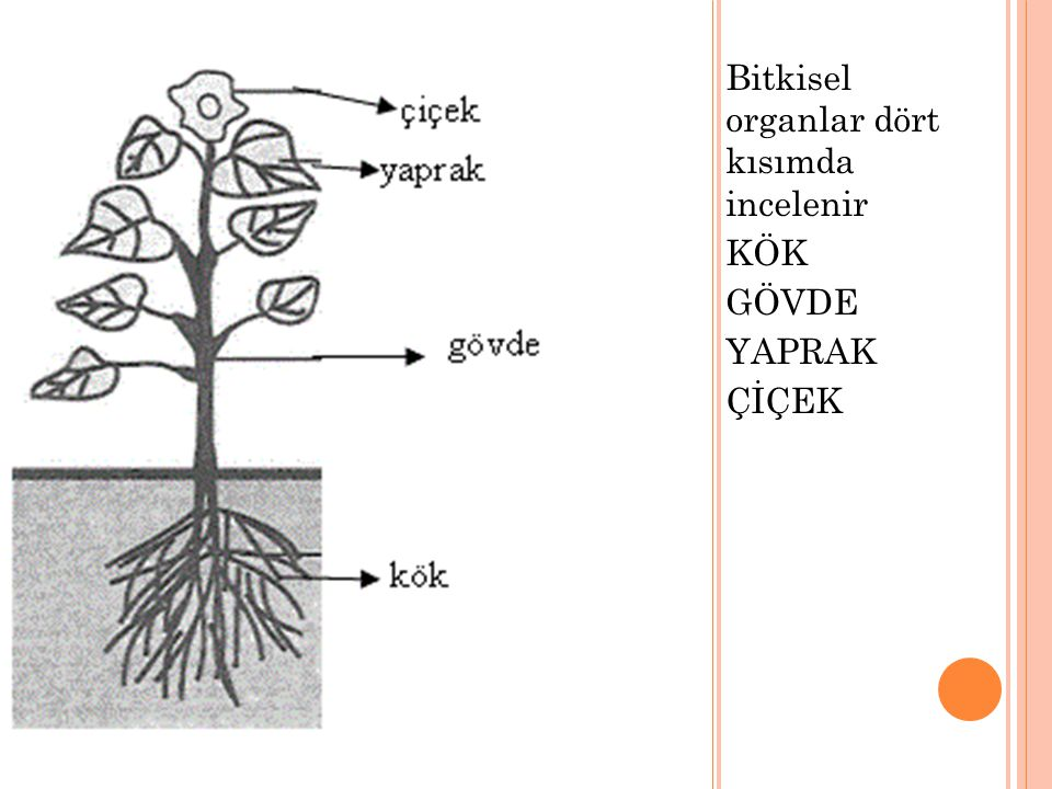 Bitkisel organlar dört kısımda incelenir