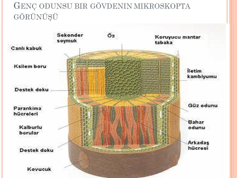 Genç odunsu bir gövdenin mikroskopta görünüşü