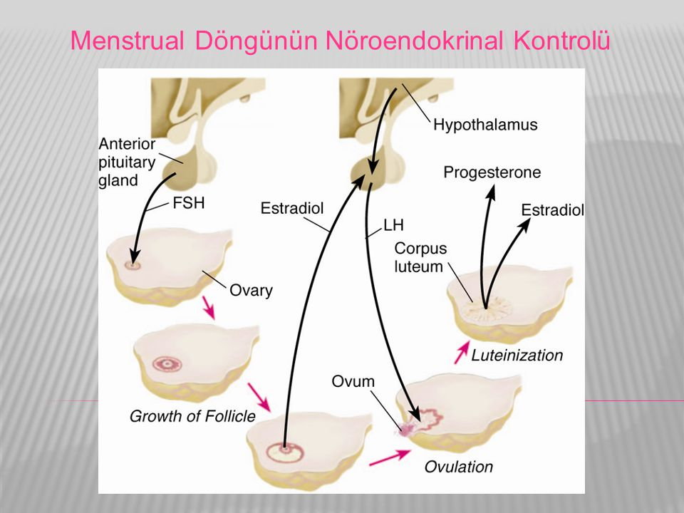 Menstrual Döngünün Nöroendokrinal Kontrolü