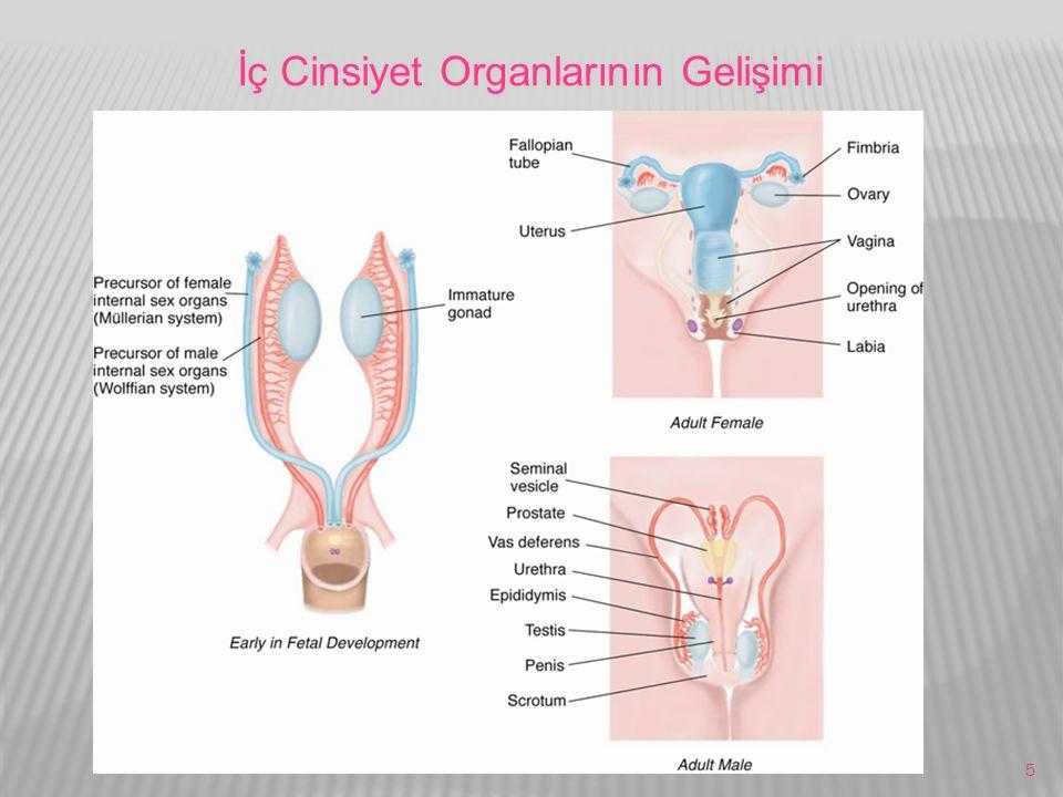 İç Cinsiyet Organlarının Gelişimi