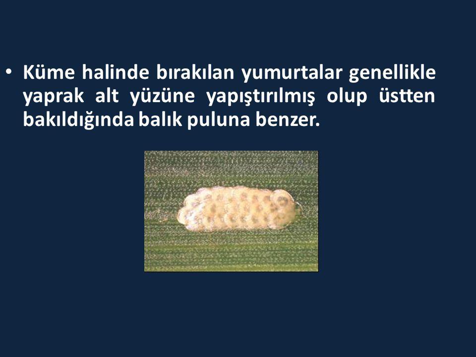 Küme halinde bırakılan yumurtalar genellikle yaprak alt yüzüne yapıştırılmış olup üstten bakıldığında balık puluna benzer.