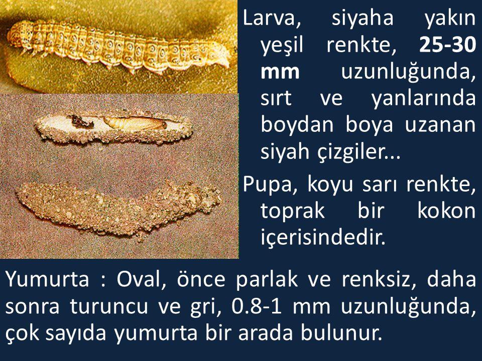 Larva, siyaha yakın yeşil renkte, 25-30 mm uzunluğunda, sırt ve yanlarında boydan boya uzanan siyah çizgiler...