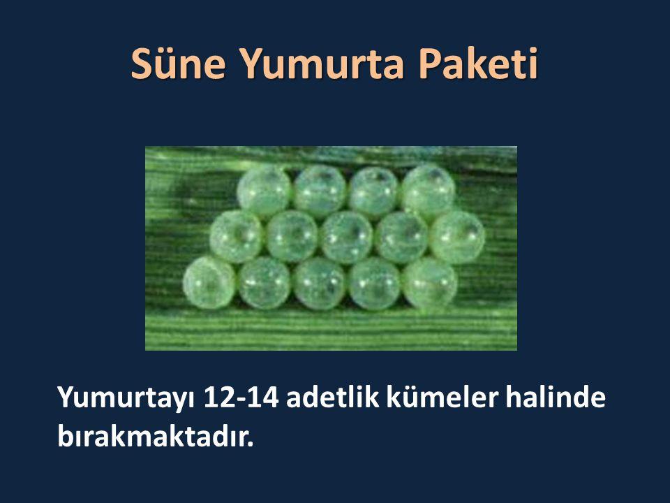 Süne Yumurta Paketi Yumurtayı 12-14 adetlik kümeler halinde bırakmaktadır.
