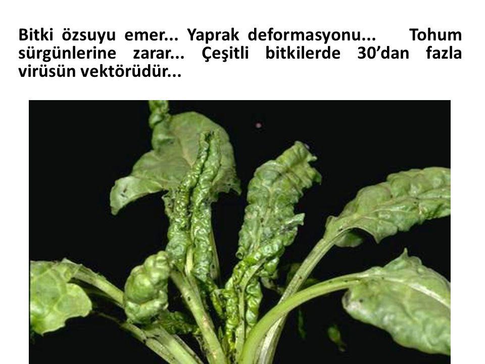 Bitki özsuyu emer. Yaprak deformasyonu. Tohum sürgünlerine zarar