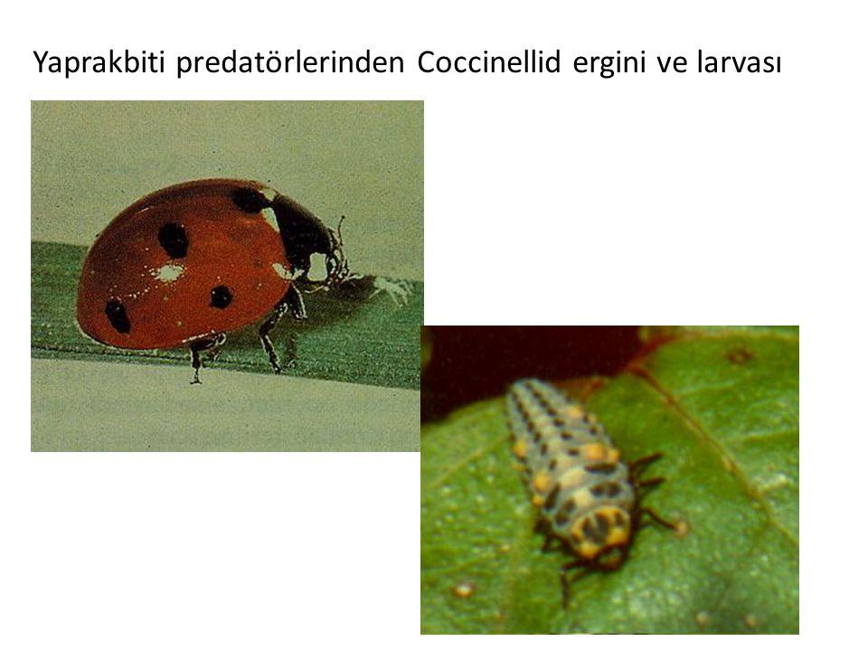 Yaprakbiti predatörlerinden Coccinellid ergini ve larvası