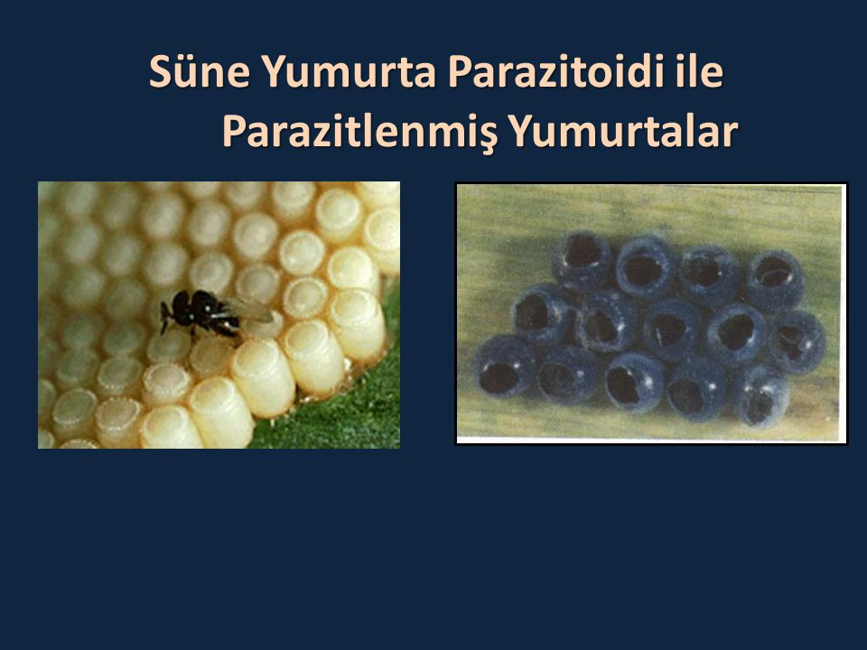 Süne Yumurta Parazitoidi ile Parazitlenmiş Yumurtalar