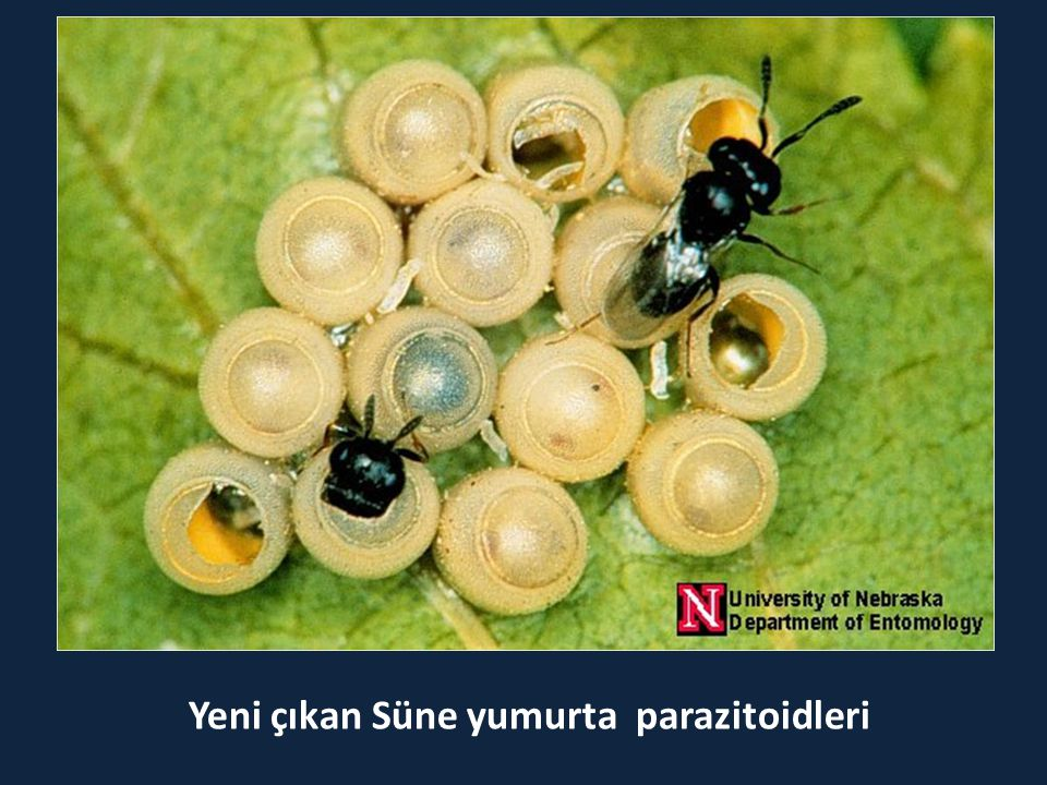 Yeni çıkan Süne yumurta parazitoidleri