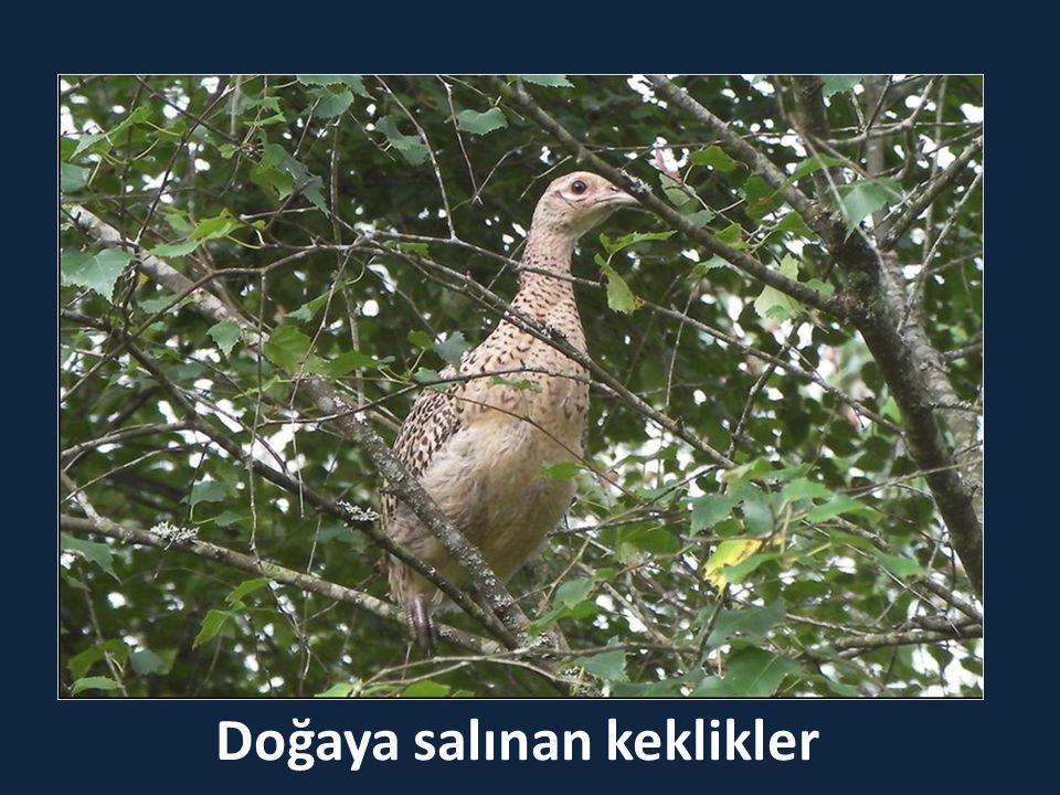 Doğaya salınan keklikler