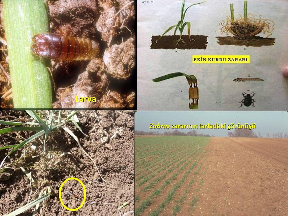 Larva Zabrus zararının tarladaki görünüşü