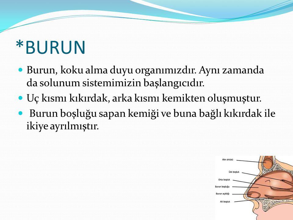 *BURUN Burun, koku alma duyu organımızdır. Aynı zamanda da solunum sistemimizin başlangıcıdır. Uç kısmı kıkırdak, arka kısmı kemikten oluşmuştur.