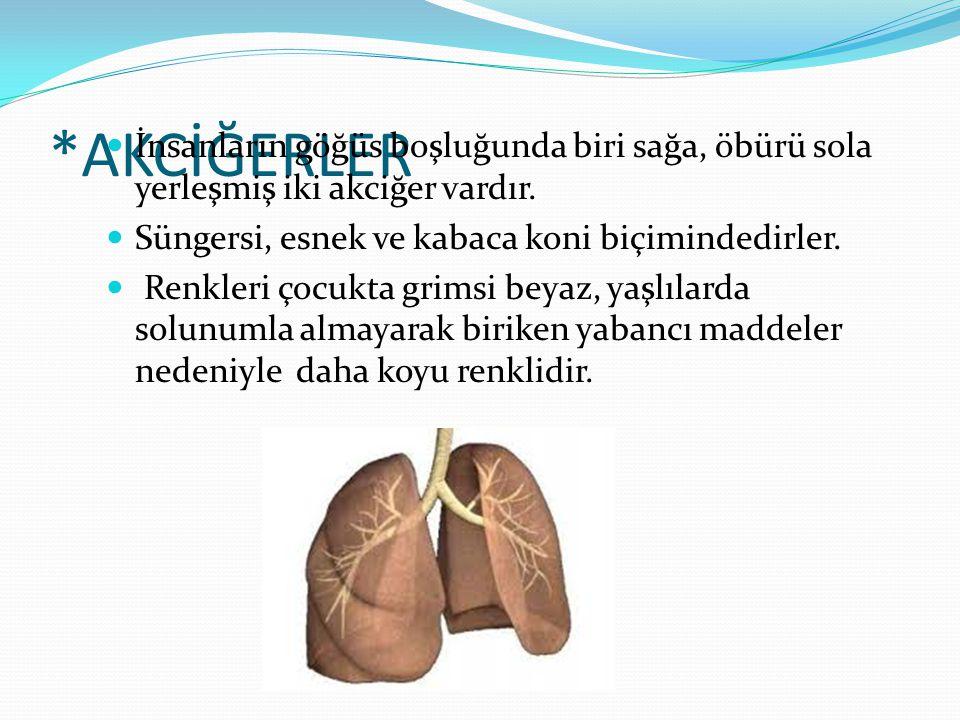 *AKCİĞERLER İnsanların göğüs boşluğunda biri sağa, öbürü sola yerleşmiş iki akciğer vardır. Süngersi, esnek ve kabaca koni biçimindedirler.