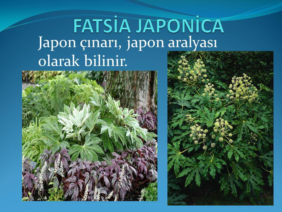 FATSİA JAPONİCA Japon çınarı, japon aralyası olarak bilinir.