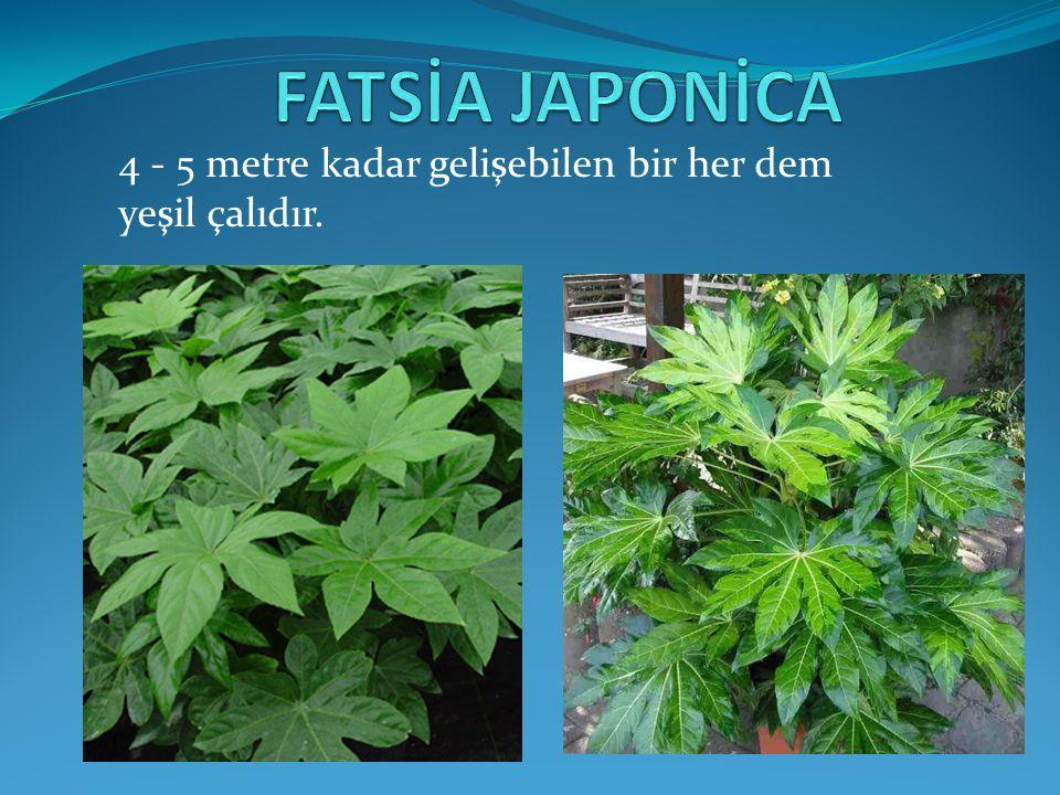 FATSİA JAPONİCA 4 - 5 metre kadar gelişebilen bir her dem yeşil çalıdır.