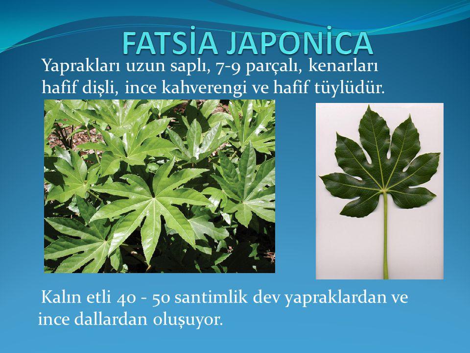 FATSİA JAPONİCA Yaprakları uzun saplı, 7-9 parçalı, kenarları hafif dişli, ince kahverengi ve hafif tüylüdür.