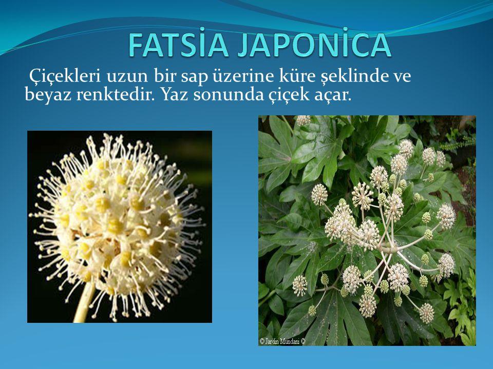 FATSİA JAPONİCA Çiçekleri uzun bir sap üzerine küre şeklinde ve beyaz renktedir.