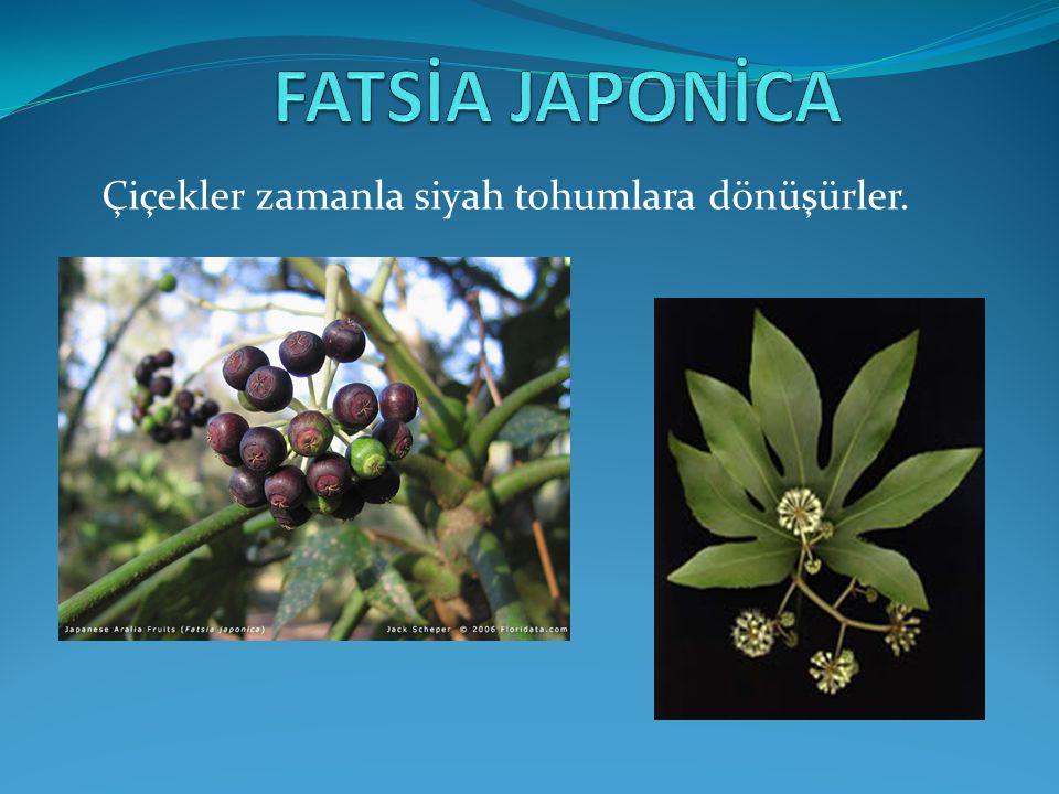 FATSİA JAPONİCA Çiçekler zamanla siyah tohumlara dönüşürler.