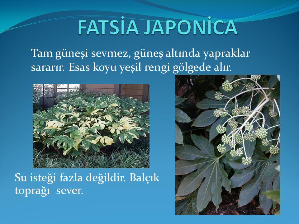 FATSİA JAPONİCA Tam güneşi sevmez, güneş altında yapraklar sararır. Esas koyu yeşil rengi gölgede alır.