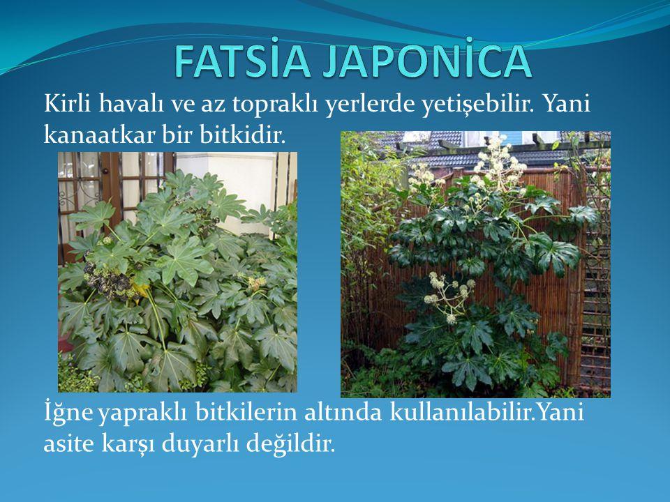 FATSİA JAPONİCA Kirli havalı ve az topraklı yerlerde yetişebilir. Yani kanaatkar bir bitkidir.