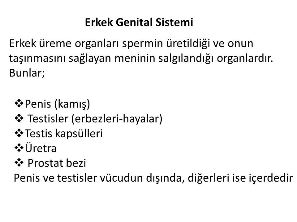Erkek Genital Sistemi Erkek üreme organları spermin üretildiği ve onun taşınmasını sağlayan meninin salgılandığı organlardır. Bunlar;