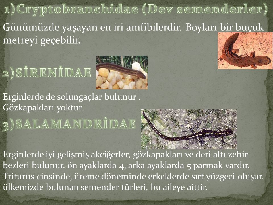 1)Cryptobranchidae (Dev semenderler)