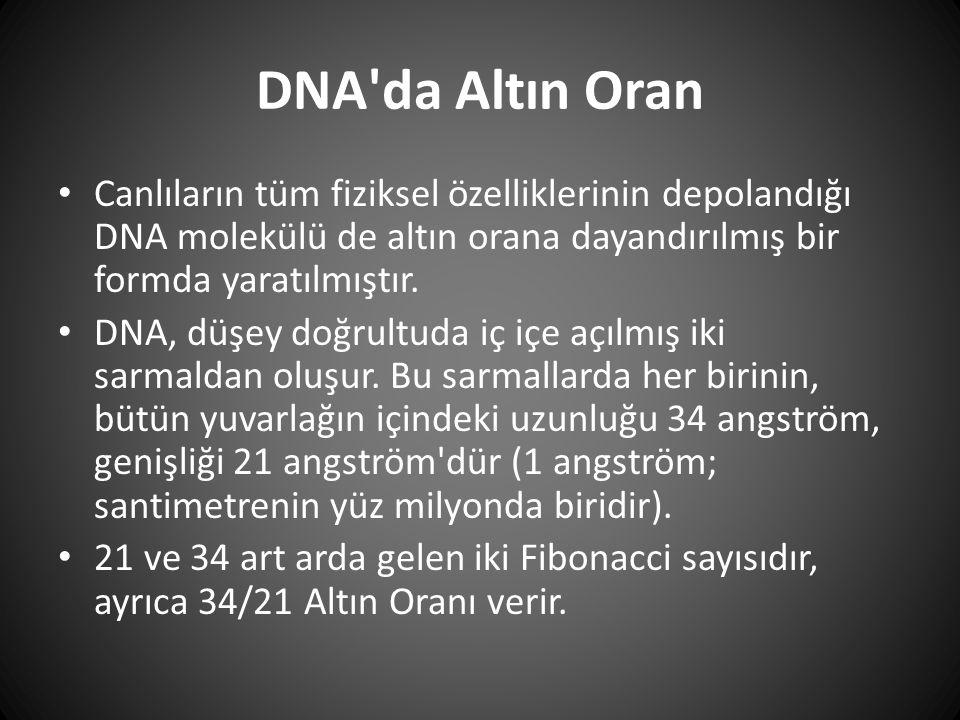 DNA da Altın Oran Canlıların tüm fiziksel özelliklerinin depolandığı DNA molekülü de altın orana dayandırılmış bir formda yaratılmıştır.
