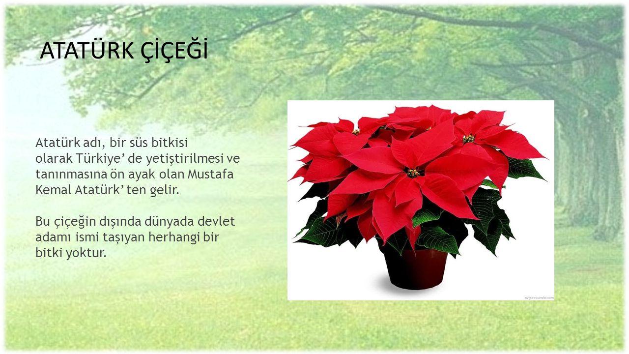 ATATÜRK ÇİÇEĞİ Atatürk adı, bir süs bitkisi olarak Türkiye' de yetiştirilmesi ve tanınmasına ön ayak olan Mustafa Kemal Atatürk' ten gelir.