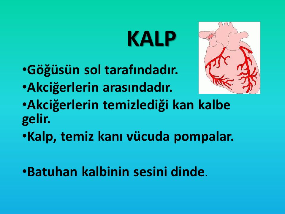 KALP Göğüsün sol tarafındadır. Akciğerlerin arasındadır.
