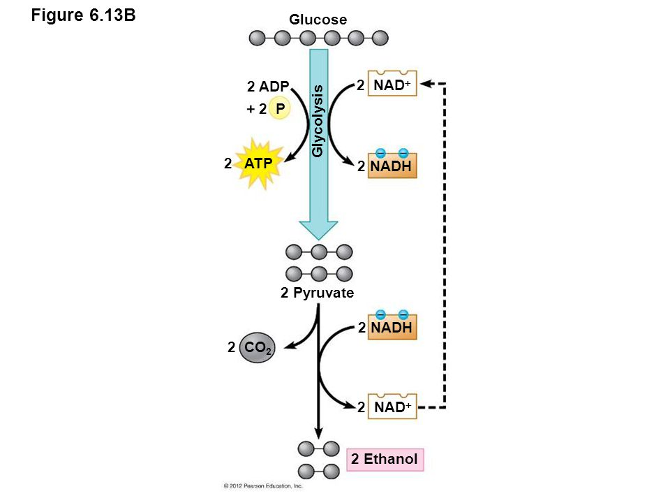 Figure 6.13B Glucose 2 ADP 2 NAD Glycolysis 2 P 2 ATP 2 NADH