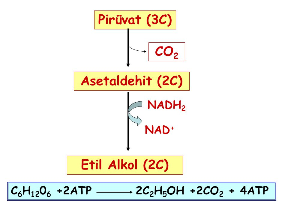 Pirüvat (3C) CO2 Asetaldehit (2C) Etil Alkol (2C)