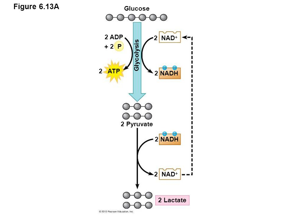 Figure 6.13A Glucose 2 ADP 2 NAD 2 P Glycolysis 2 ATP 2 NADH
